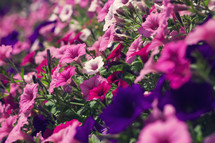 pink and purple flowers in a flower bed