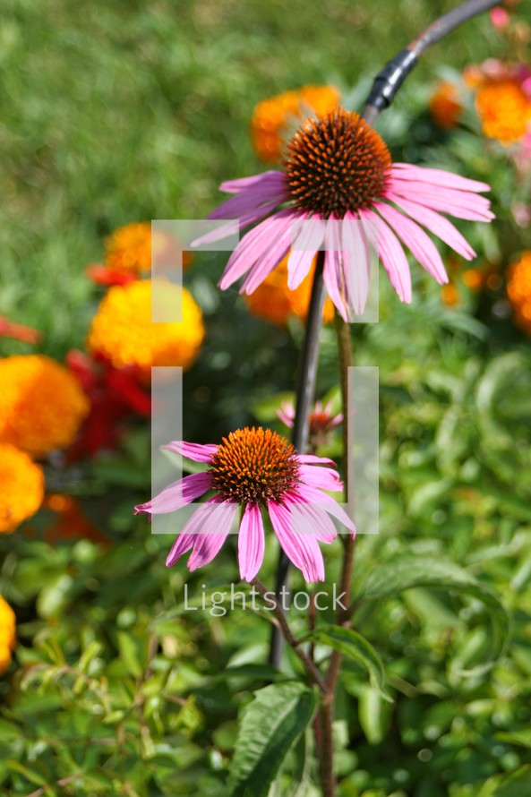 Purple daisies in garden.