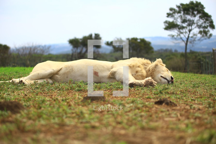 Lion sleeping on grass.