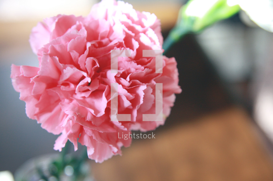 Pink carnation flower.