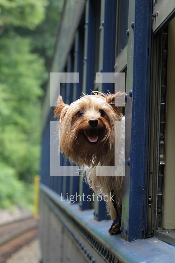 Yorkie dog hanging its head out a train window