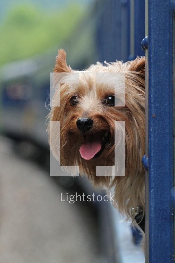 Dog hanging its head out of the train window.