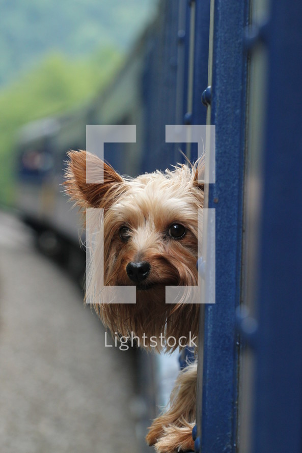 Yorkie dog sticking his head out a train window
