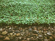 ivy and a stone wall
