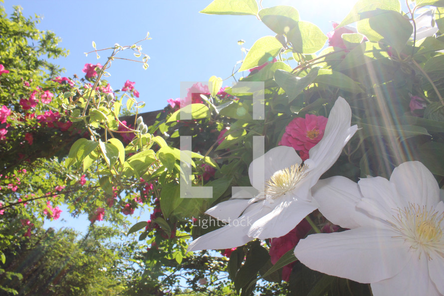 white and pink flowers on a vine
