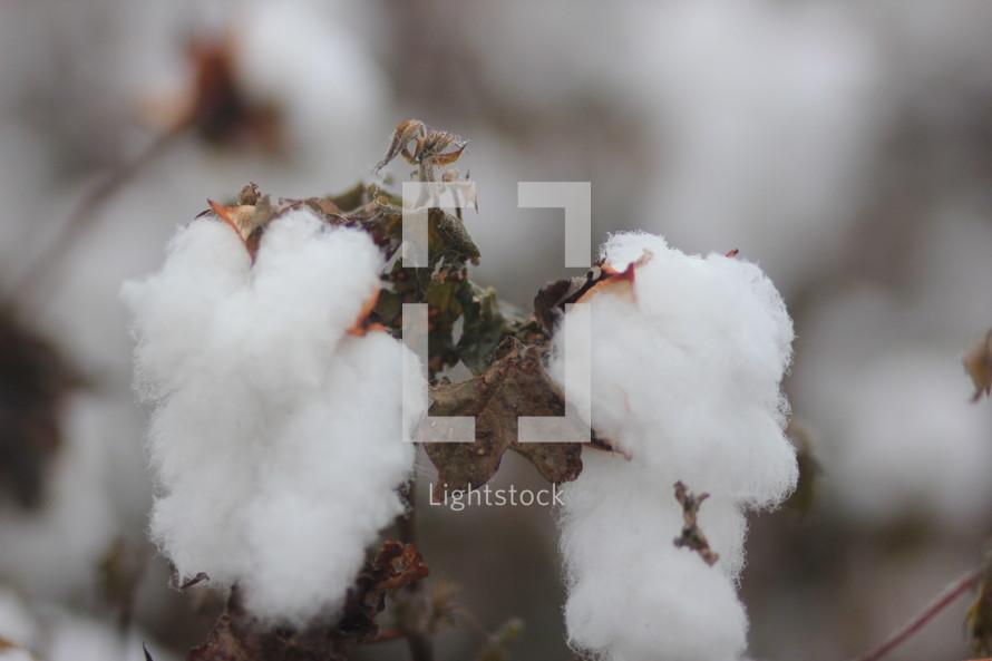 cotton plant closeup