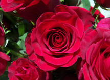 Red roses opening to bloom that symbolize love, passion, romance and marriage between a man and a woman. A perfect gift for Valentines Day or any occasion to celebrate romantic love between a man and a woman.
