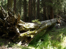 A fallen tree in Sequoia National forest park in Central California surrounded by thick woods, green ferns and thick trees making up the densely populated forest.