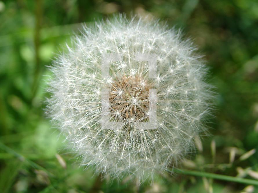 Dandelion seed head in the grass.