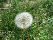Dandelion seed head in the grass.
