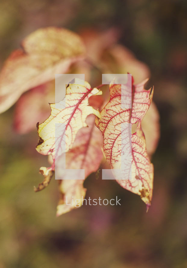 Close up of red-veined leaf.