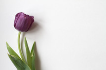 single purple tulip on white