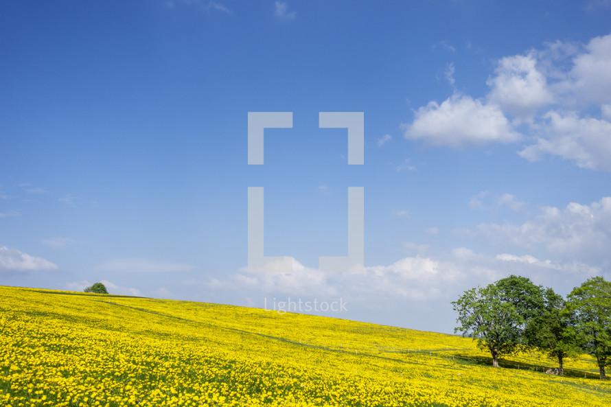 meadow of yellow dandelions