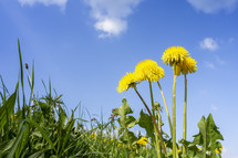 dandelions under a blue sky
