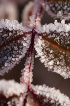 Frost-covered red leaves.