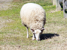 "A lone sheep grazes in a grassy field on a farm next to a rustic wooden fence. ""All we like sheep have gone astray"" as scripture says which is why we need the good Shepherd to take care of us."