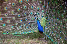 Peacock with open tail feathers.