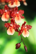 orange and yellow orchids
