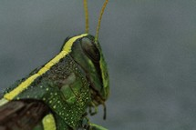 grasshopper eyes