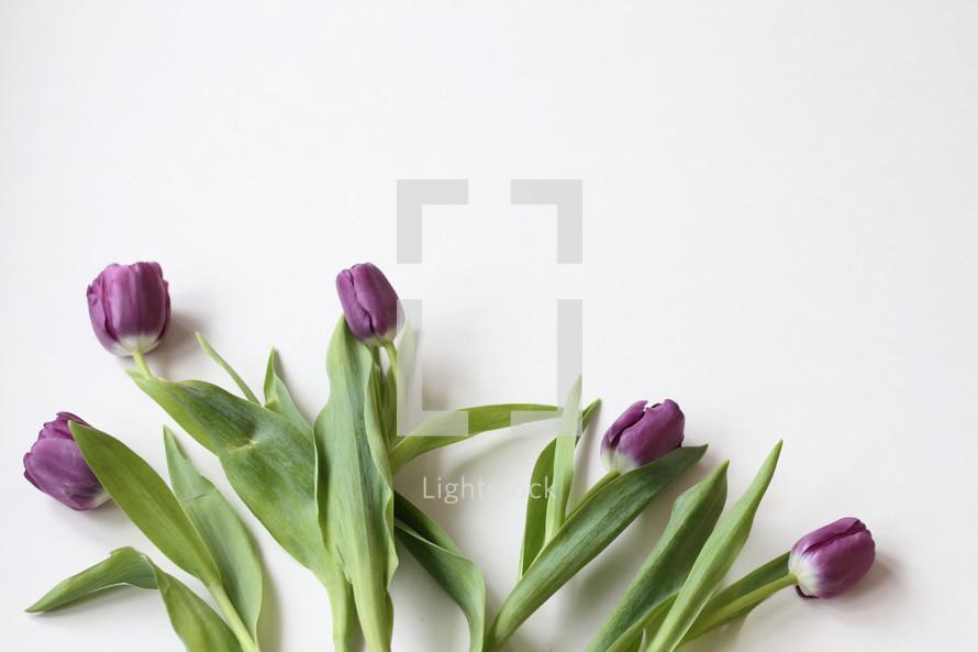purple tulips on white