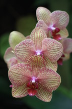 yellow and pink striped orchids