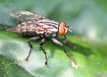 closeup of a house fly