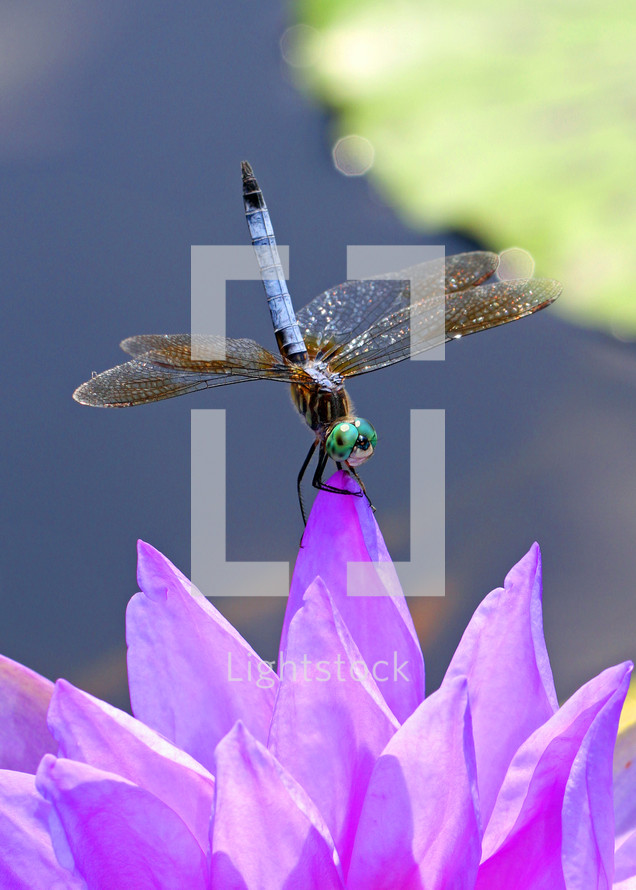 dragonfly on a purple lotus flower
