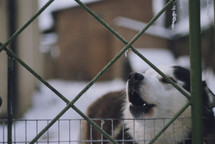 a howling husky dog standing behind an icy fence