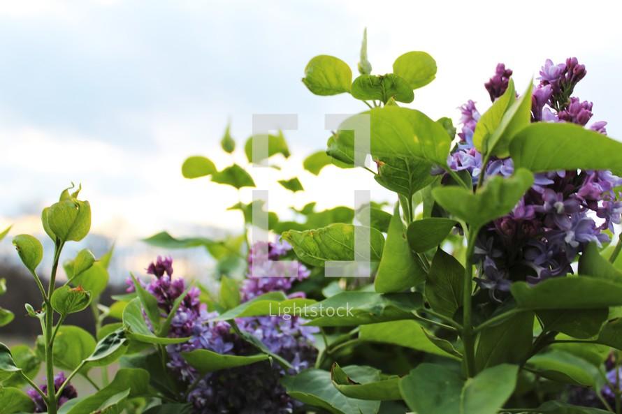 purple flowers in a garden