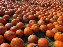 Field of pumpkins.