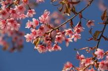 Springtime Cherry blossom flowers