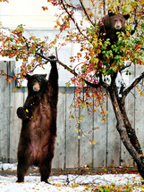 Mother black bear and her cub in a crabapple tree.
