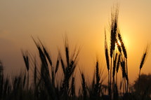 Stalks of wheat with sun setting behind