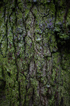mossy tree bark