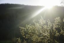 Sun rays shining over a hill onto a bush.