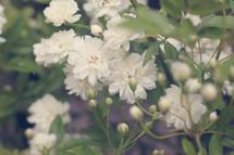 White flowers on a bush.