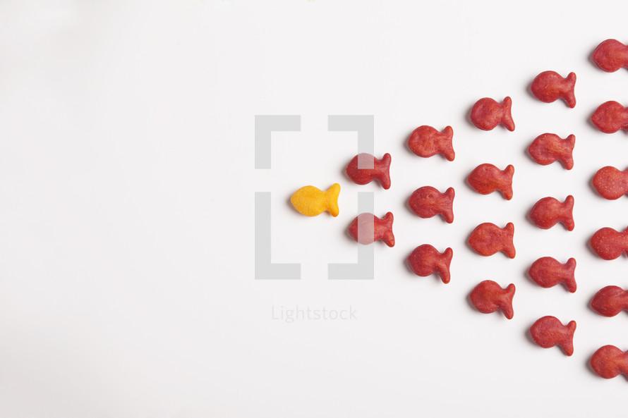 school of goldfish following their leader.