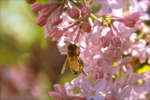 a bumble bee on pink flowers