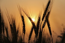 sunlight glowing on wheat grains