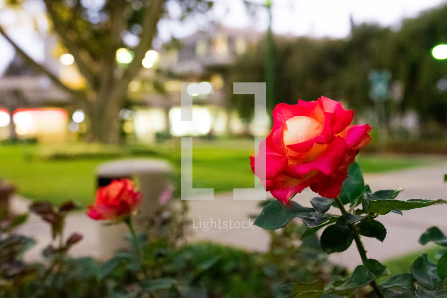 red roses in a flower garden