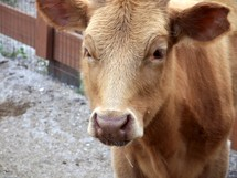 Cow portrait - an up-close portrait of a cow grazing and eating on a farm.