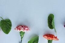 carnations and green leaves on a white background