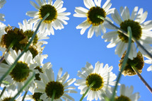 white daisies and blue sky