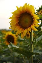Yellow sunflowers.