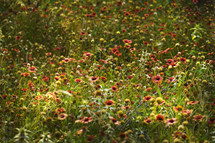 Field of Texas Firewheel flowers.