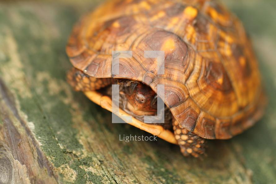 turtle peeking out of its shell