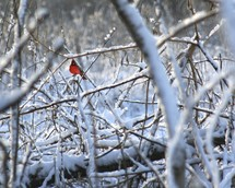 red cardinal on snow covered branches