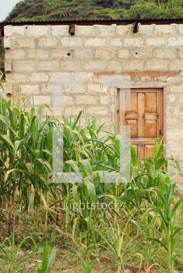 corn field and brick wall
