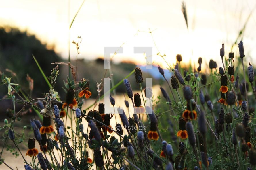 spring wildflowers at sunset