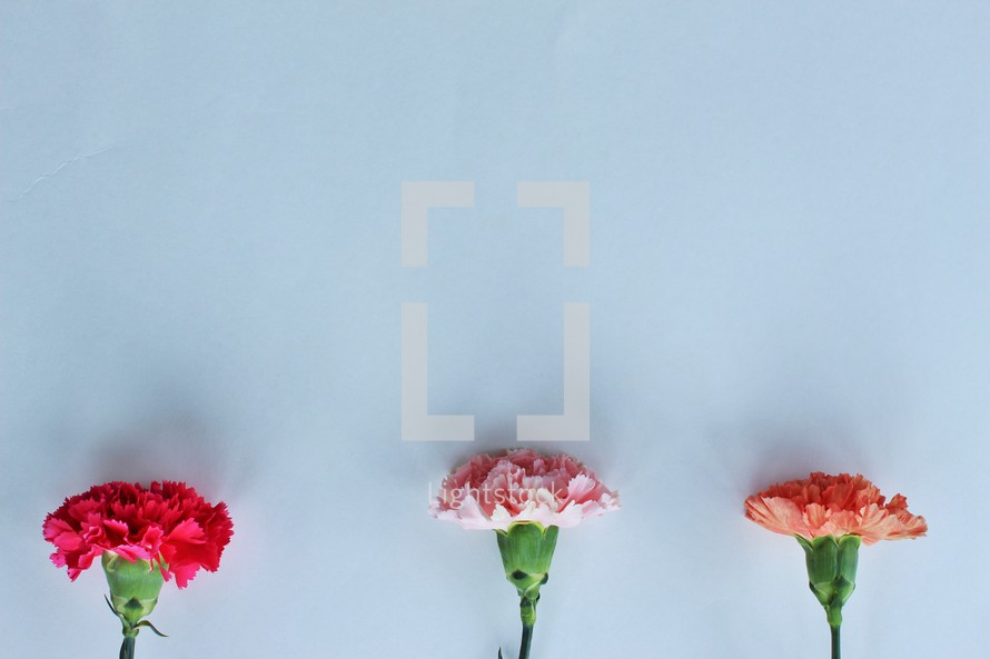 carnations on a white background